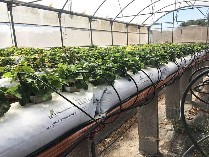Cultivo hidropónico con perlita